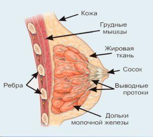 Особенности строения молочной железы