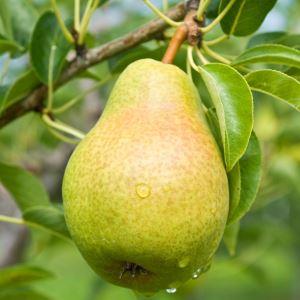 Груша – запас витаминов и микроэлементов