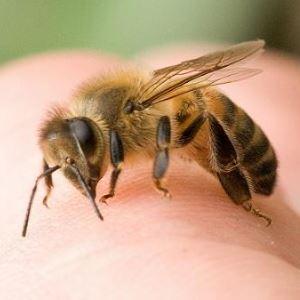 Пчелиный яд как аллерген