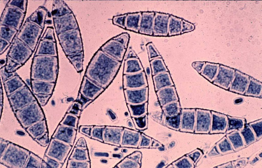 Грибы рода Микроспорум