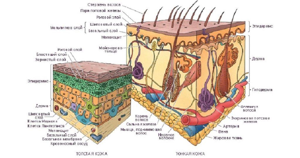 Какое строение кожи