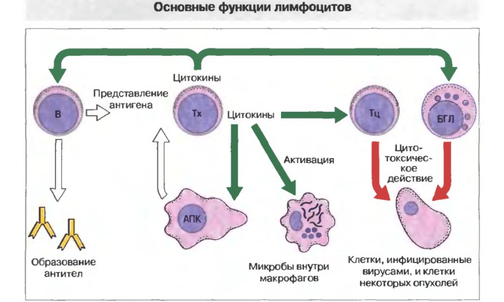 Представление о лимфоцитах